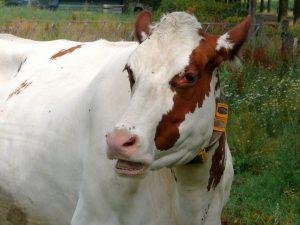 cattle main
